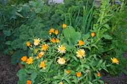 Calendula plants flowering in a vegetable bed