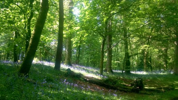 hardwood woodland with bluebells