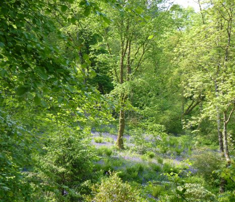 A picture of fresh green woodland with bluebells